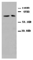 AP23274PU-N - Mitofusin-2