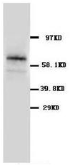 AP23255PU-N - SLC1A3 / EAAT1