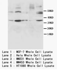 AP23242PU-N - Cyclin D1