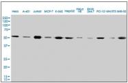 AM21025PU-N - alpha Tubulin / TUBA4A / TUBA1