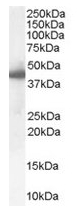 AP16352PU-N - SERPINE1 / PAI1