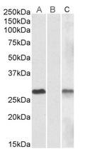AP23775PU-N - DYDC1