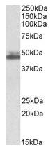 AP23746PU-N - Endophilin-A2