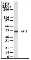 AP23601PU-N - AKT3 / PKB gamma