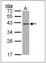 AP23615PU-N - Deoxyribonuclease-1