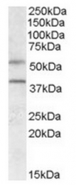 AP23682PU-N - GPR81
