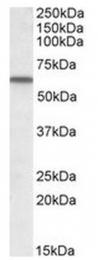 AP23687PU-N - Vitamin D-binding protein