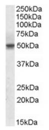 AP23689PU-N - Septin-6 / SEPT6
