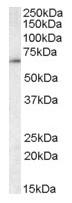 AP23693PU-N - CCT3 / TCP1 gamma