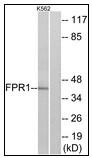 AP23634PU-N - fMLP receptor