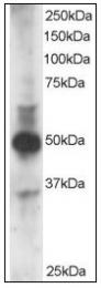 AP23635PU-N - GATA3