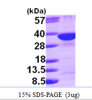 AR09749PU-L - Syntenin-1 / SDCBP