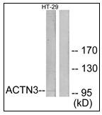 AP23644PU-N - Alpha-actinin-3 / ACTN3