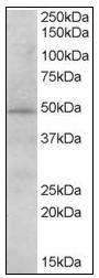 AP23651PU-N - STAP2 / BKS