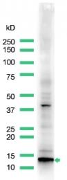 AP15385PU-S - Calcitonin