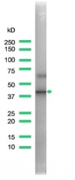 AP15422PU-S - CD150 / SLAMF1