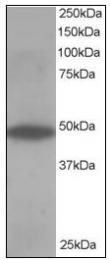 AP23594PU-N - OSBPL1A