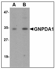 AP23473PU-N - GNPDA1