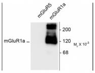 24426 - mGluR1a / GRM1a
