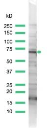 AP15817PU-M - Thrombin receptor / F2R