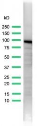 AP15588PU-S - Endoplasmin / HSP90B1 / TRA1