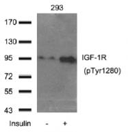 AP26038PU-S - CD221 / IGF1R