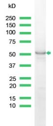 AP15622PU-S - Cytokeratin 7