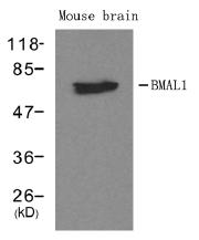 AP26055PU-N - ARNTL / BMAL1