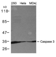 AP26060PU-S - Caspase-3