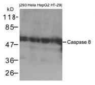 AP26061PU-S - Caspase-8 / FLICE