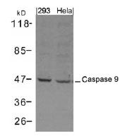 AP26062PU-N - Caspase-9