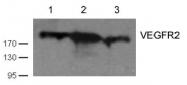 AP26071PU-S - CD309 / VEGFR-2 / Flk-1