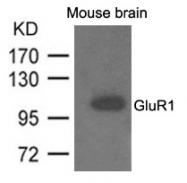 AP26074PU-N - Glutamate receptor 1 / GLUR1