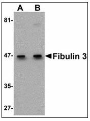 AP23481PU-N - Fibulin-3
