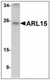 AP23483PU-N - ARL15 / ARFRP2