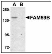AP23495PU-N - GAREML / FAM59B