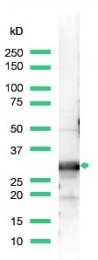 AP15331PU-S - 14-3-3 protein beta/alpha