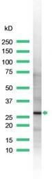 AP15332PU-M - 14-3-3 protein zeta/delta