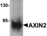 AP26091PU-N - Axin-2