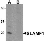 AP26121PU-N - CD150 / SLAMF1