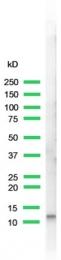 AP15477PU-S - Cholecystokinin / CCK