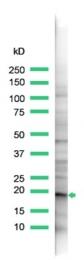 AP15481PU-S - Claudin-1 / CLDN1