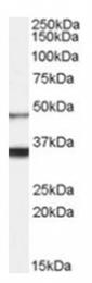 AP31067PU-N - Orexin receptor type 1