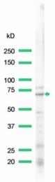 AP15628PU-S - Lamin-B1 (LMNB1)