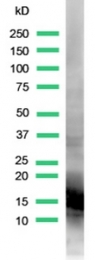 AP15673PU-S - Myoglobin