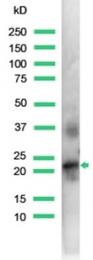 AP15732PU-S - Placental Lactogen