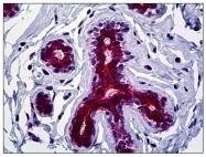 AP31049PU-N - Cytokeratin 19