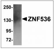 AP23921PU-N - ZNF536