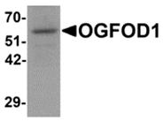 AP26098PU-N - OGFOD1