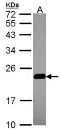 AP31081PU-N - Caveolin-2
